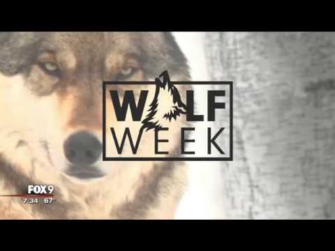 WOLF WEEK: Meaning Of The Wolf In Native American Culture