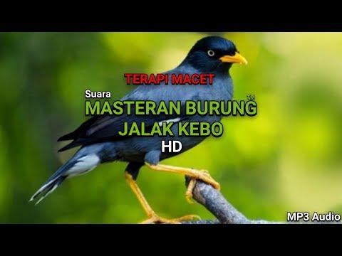 JOSS SUARA MASTERAN - BURUNG JALAK KEBO GACOR TERAPI BURUNG MACET HD MP3 AUDIO