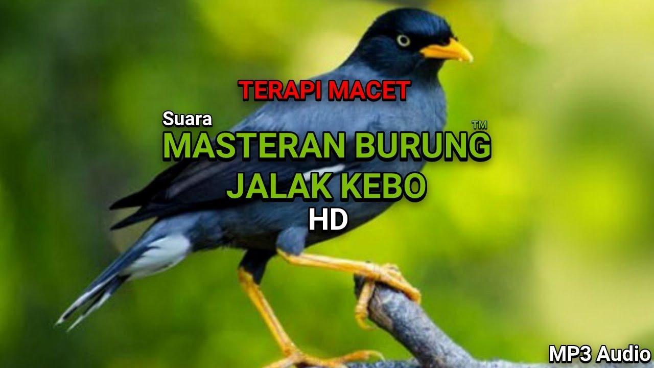 Joss Suara Masteran Burung Jalak Kebo Gacor Terapi Burung Macet Hd Mp3 Audio Youtube