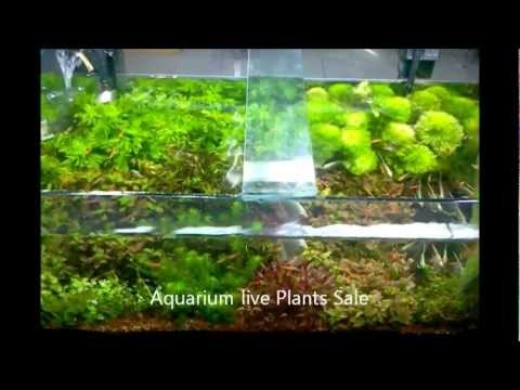Aquarium Natural Live Plants Sale In Chennai Aquarium Design India (Spencer Plaza) 9444 52 9333