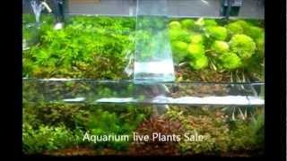 Aquarium Natural Live Plants Sale In Chennai Aquarium Design India (spencer Plaza) 9444 52 9333