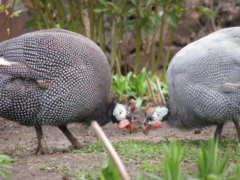 Прошу совет!///Инкубация цесарок/// в конце будут фото моей птицы