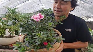 1년에 꽃이 두번 피는 철쭉'잉카' 분갈…