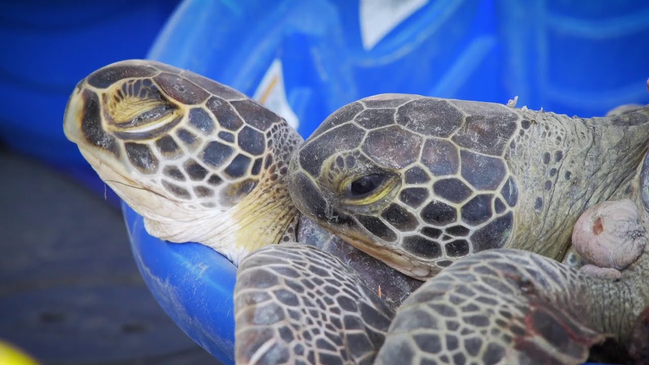 Thousands of cold-stunned sea turtles saved during Texas freeze