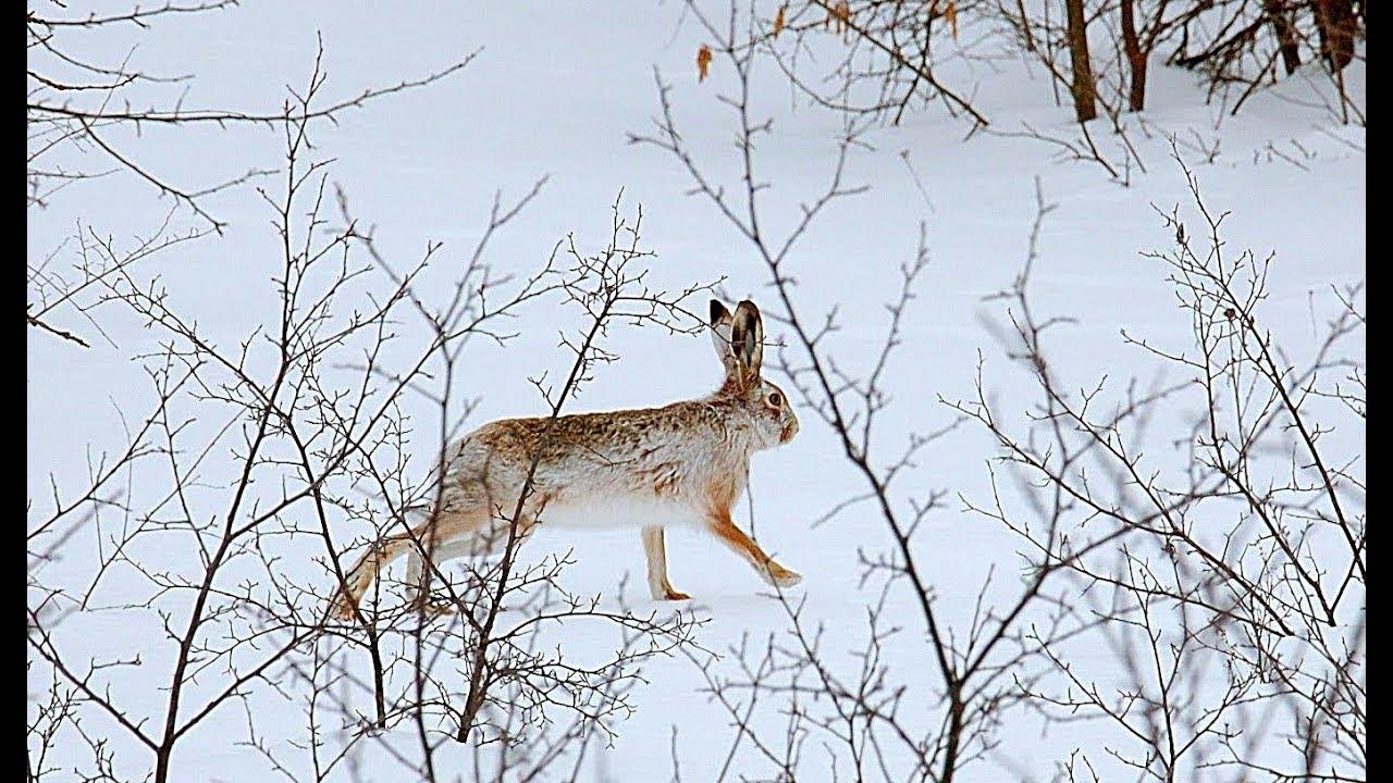 Охота на зайца. Выпал долгожданный снег. Тропление зайца. Тоз - 34
