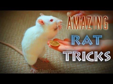 Awesome, Amazing Rat Tricks