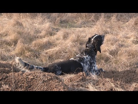 International game bird dog - Serbia Zitoradja - Part 1 | Pointing dog - Cane de ferma |