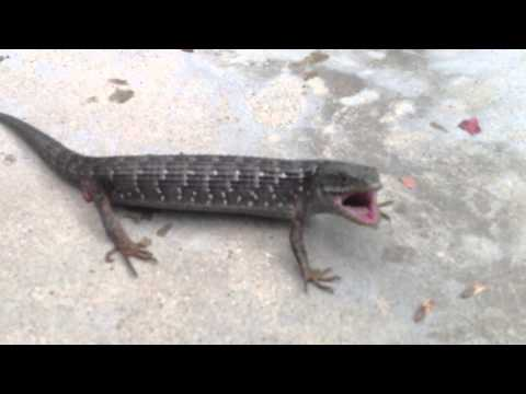 Guy attacked by a vicious Alligator Lizard and biten multiple times