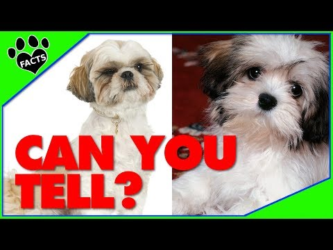 Lhasa Apso vs. Shih Tzu - Which is Better? Dog vs Dog Animal Facts
