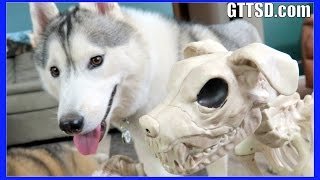 Skeleton Dog Prank | Dogs React