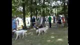 Межрегиональная 114-я Московская выставка собак охотничьих пород. Старший ринг кобелей.