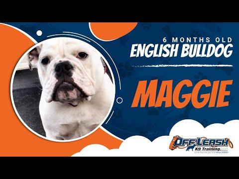 6-Month Old English Bulldog, Maggie! Wow! Amazing English Bulldog Training In Virginia