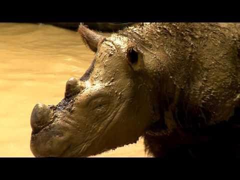 Last Sumatran Rhino in Western Hemisphere Leaves Cincinnati Zoo