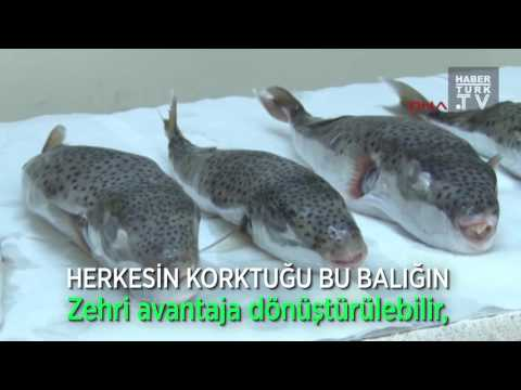 Türkiye'de Avlanması ve Kıyıya Çıkarılması Yasak Olan Balık