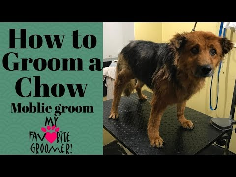 How to Groom a Chow Chow Matted