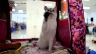 Улётное видео! На выставке кошек играют дети, играют кошки! Тайские кошки - это чудо! Funny Cats