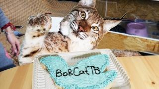 ТОРТИКИ ДЛЯ БОЛЬШИХ КОШЕК. Big cats love cakes
