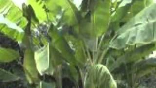 Ornamental Banana Morphology  - Plant Habit of Musa, Musella and Ensete