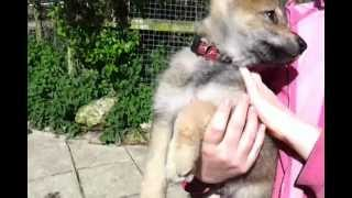 British Wolfdog Puppies For Sale Isle Of Wight
