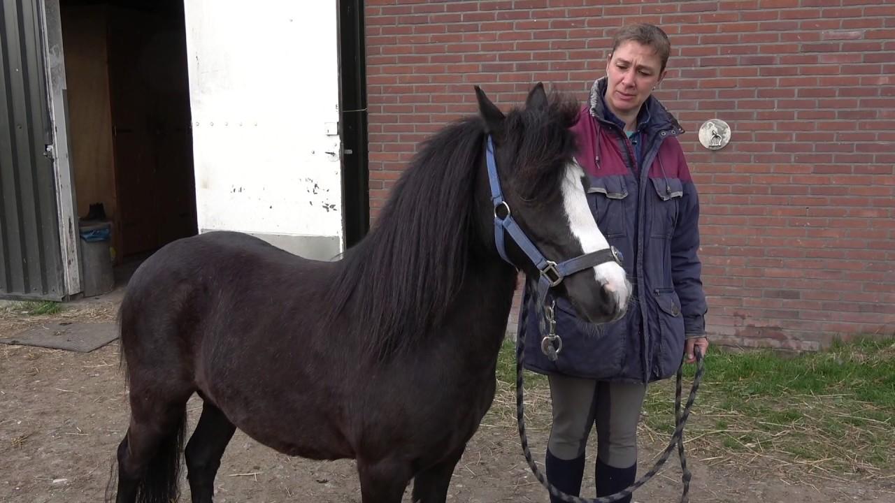 Wonderbaarlijk Zwarte A Welsh Pony Te Koop - YouTube BC-38