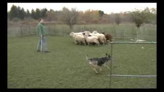 Australian Cattle Dog Herding Sheep