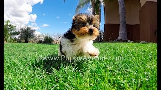 Lorenzo Our Parti Yorkshire Terrier Male Puppy For Adoption