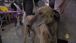 هذا الصباح- كلاب نيويورك تتسابق للفوز بألقاب في الجمال