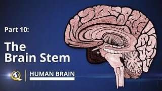 Brain Stem - Human Brain Series - Part 10