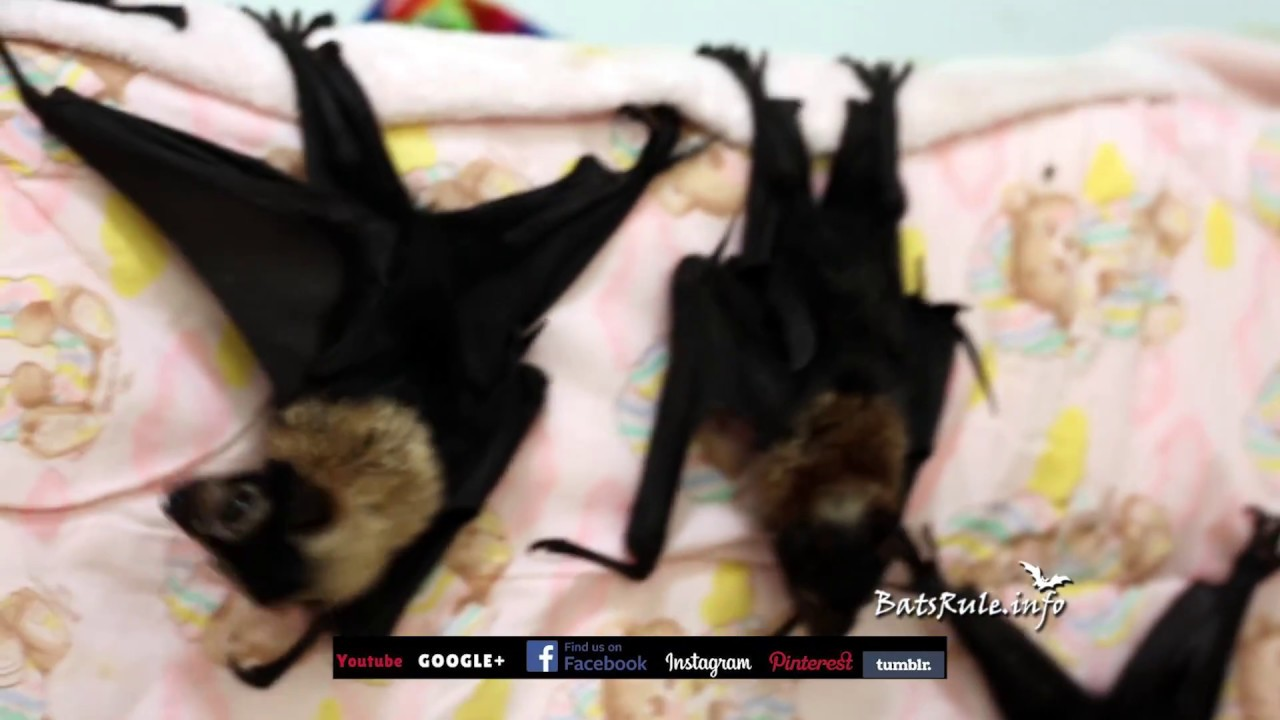 Rehab | Cairns Qld Megabat babies Spectacled in care