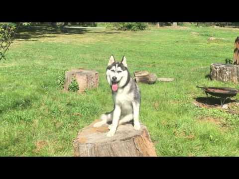 6-Month Old Husky, Loki!  Husky Off Leash Dog Training | Electronic Collar Training