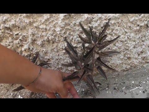 Planta crasa recogida de la calle