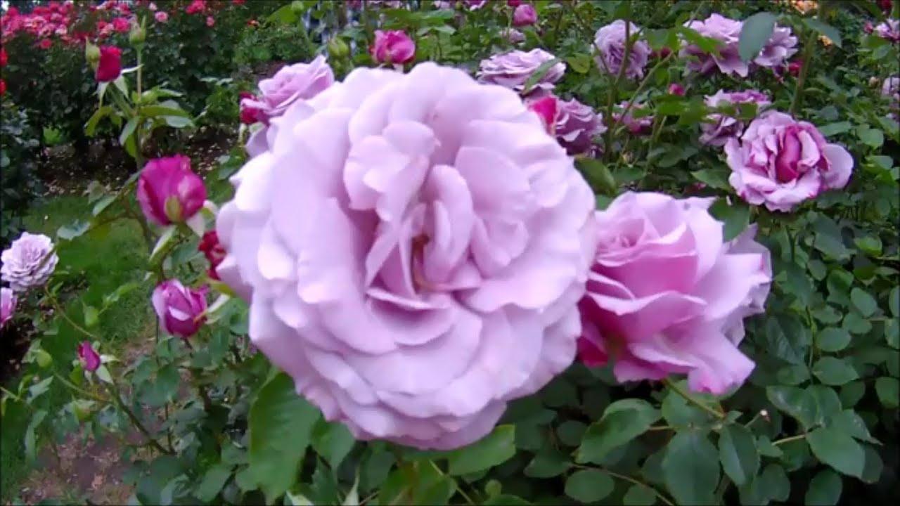 portland oregon rose garden international rose test garden august 11 2013 youtube - Portland Rose Garden