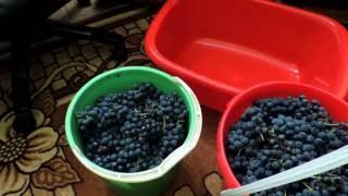 Как сделать домашнее вино из винограда Изабелла