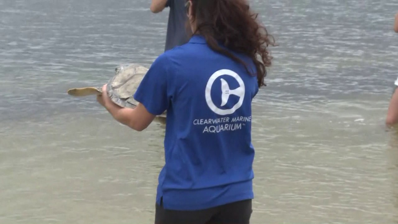 clearwater-marine-aquarium-releases-sea-turtle