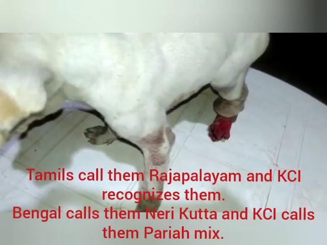 Bengal Rajapalayam have to die this way.
