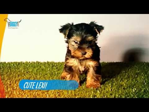 Cute Yorkshire Terrier Lexie European bred!!