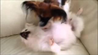 Pomeranian&Papillon フーリー凄い!今までにないブラッシングが出来て...