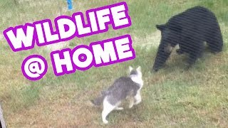 Fearless Cat Scares Off Bear - The Most Amazing Wildlife Encounters