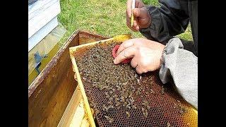 Отводки пчел весной  Парадоксы на пасеке