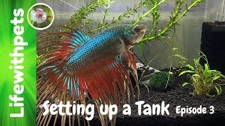 How to Set Up a New Betta Fish Tank (Episode 3)
