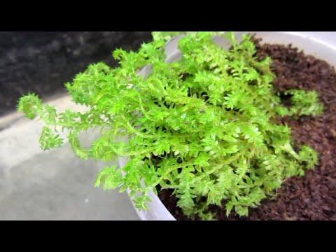 How To Pot And Mix Soil For Moss (Golden Club Moss, Selaginella Kraussiana Auera, Gold Spike Moss)