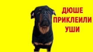 РОТВЕЙЛЕРУ ДЮШЕ ПРИКЛЕИЛИ УШИ.воспитание и дрессировка собак