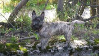 Bonzo the Cairn Terrier. His first year