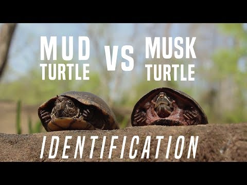 Musk Turtle VS Mud Turtle: Identifying The Differences