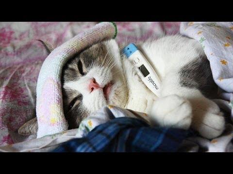 Болеют кошки гриппом