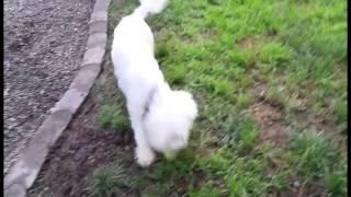 Flash Poodle For Adoption Portland Oregon Pound To Posh