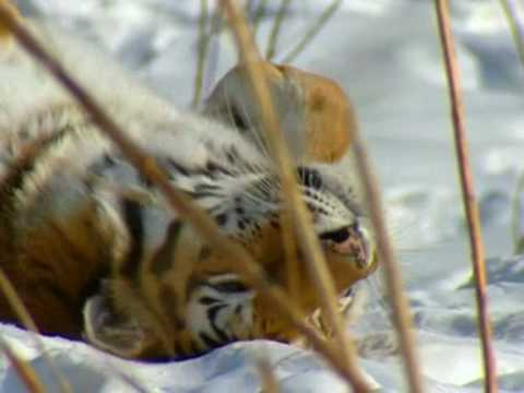 Top TIGRE DE SIBERIE - YouTube WT14