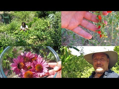 Harvesting Goji Berries & Making Echinacea Flower Tea | Plus Bonus Footage