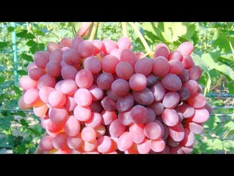 Сорта винограда. Кишмиш Велес