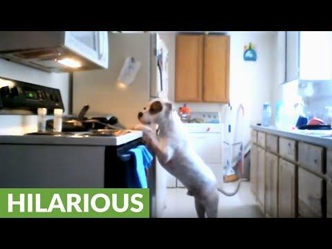 Hidden camera footage shows dog raiding refrigerator